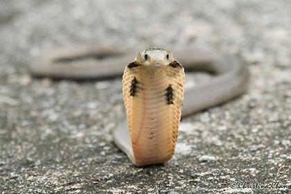 但其实蛇胆具有很多寄生虫,若生吞蛇胆便会有机会把寄生虫同时吞进体