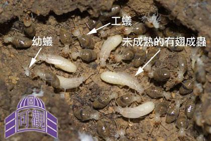 一个成熟的白蚁巢到了春季